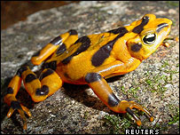 Panama golden frog
