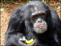 This chimp reportedly led the attack