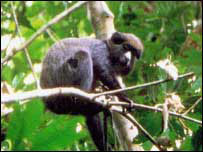A puttynose monkey.