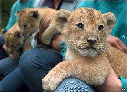 Three lion cubs are presented for the first time to the public in the zoo of Rostock, northern Germany