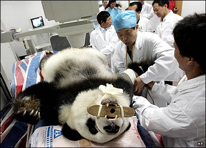 Ba Si, a 26-year-old female panda, is given a physical examination at a hospital in southeast China. The hospital is normally used for humans, but they made an exception for this panda.