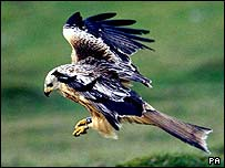 Undated RSPB Scotland handout image of a red kite