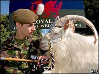 William (Billy) Windsor, regimental goat of the First Battalion, the Royal Welch Fusiliers