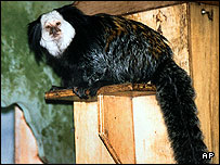 One of the stolen Geoffrey marmosets