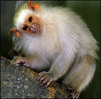 Jazz, the stolen silvery Marmoset