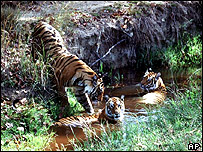 A tigress and her cubs in a national park in India