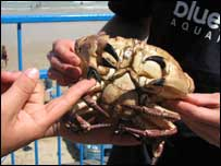 Claudette the crab