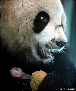 Proud mum Bai Xue cuddles her baby as she tucks into some bread, although giant pandas mainly eat bamboo shoots
