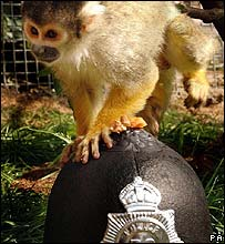 SpongBob the squirrel monkey