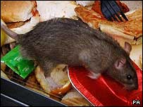 Rat rummages on food