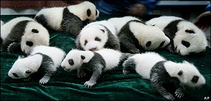 All these pandas were born this summer at the Chengdu Giant Panda Breeding and Research Center in Chengdu in China's Sichuan province!