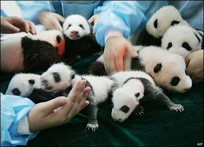The panda is one of the world's rarest animals. A recent study found there are less than 1,600 left in the wild