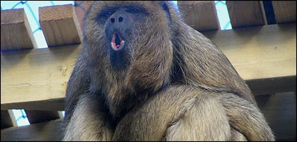 Wing the howler monkey - picture: Exmoor Zoo