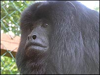 Greeb the howler monkey - picture: Exmoor Zoo