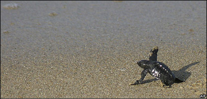 A baby sea turtle takes its first steps towards the ocean in Mexico