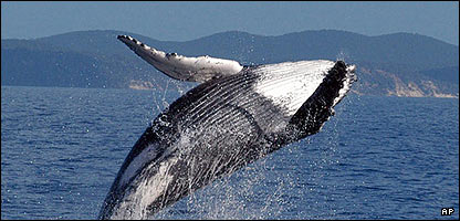should whaling be banned completely Arguments in favour of lifting the ban on commercial whaling 1 should the ban on commercial whaling be liftedshould remain completely.