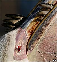 A pelican eating a pigeon