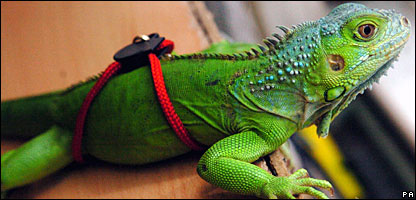 Rex the pet iguana who was rescued after going up a tree in Swansea