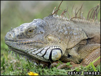 A black spiny-tailed iguana