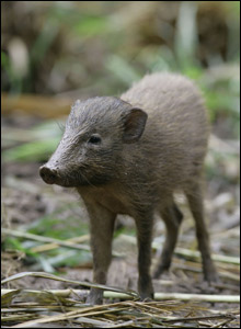 Indian pygmy hog