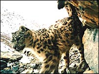 Snow Leopard (Ashley Spearing)