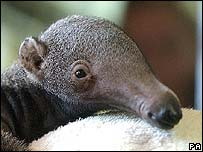 Baby giant anteater lives in the Brazilian rainforest