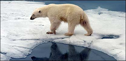 Melting Ice Caps Polar Bears a Polar Bear Walking on Ice