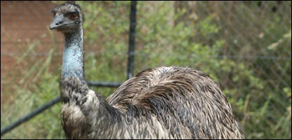 An emu like the one which is missing