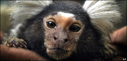 A marmoset monkey in India