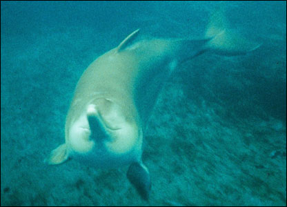 Yangtze river dolphin - Picture by Stephen Leatherwood
