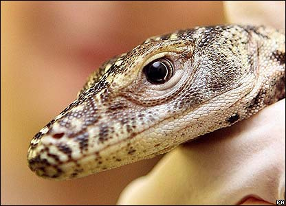 Hatching of a Komodo dragon (Varanus komodoensis) from an egg produced... |  Download Scientific Diagram | 300x416