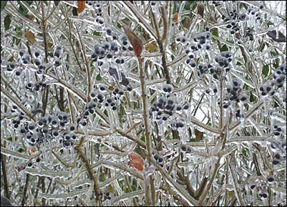 Ice storms happen when rain falls when it's very cold, turning into ice as it hits surfaces. These berries look beautiful!