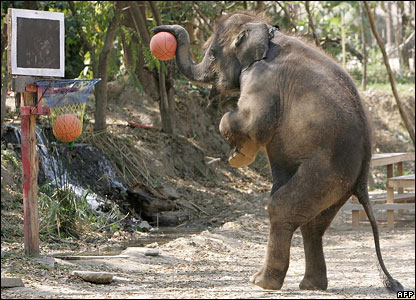 Elephant playing basketball