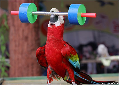 Weight-lifting parrot