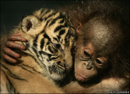 pictures of tigers and cubs. A Sumatran tiger cub cuddles