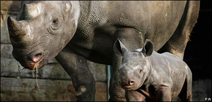 The baby black rhino with its mum, Sita