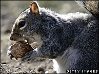 Squirrel munches on a nut