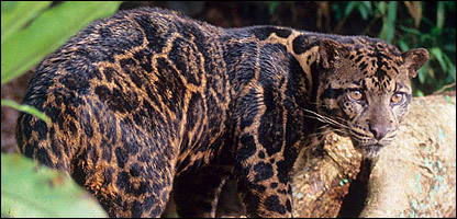 Cbbc newsround animals new leopard species revealed - Chat type leopard ...