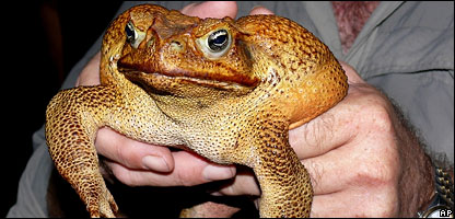 Toadzilla the cane toad
