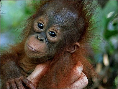 These babies are appearing in a new BBC programme called Orangutan Diary.