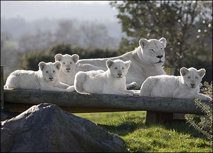The cubs are naturally white and are part of the only pride of white lions in the UK. Here they are with their mum, Natasha. [West Midland Safari Park]