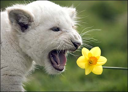 White lions are a rare species. There are thought to be only about 130 left in the wild. [West Midland Safari Park]