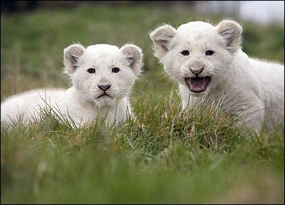These two baby white lion cubs were born at West Midland Safari Park in January. [West Midland Safari Park]