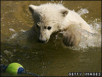Knut plays with a ball