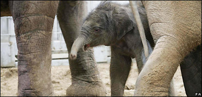 The first elephant to be born in Ireland