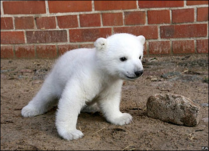 Knut the polar bear cub