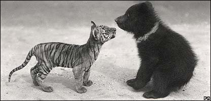 A tiger cub and a baby bear - pic from ZSL/PA Wire