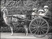 A llama pulling a carriage - pic from ZSL/PA Wire