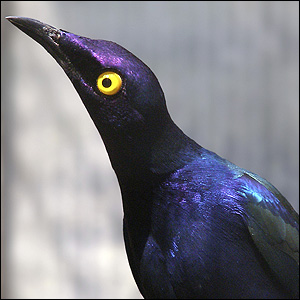 Alex took this photo at a animal park near his home. He liked the colours on this starling