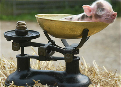 A miniature pig being weighed